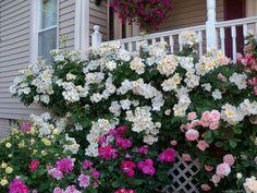 'Sally Holmes ' Rose Photo