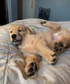 Things we admire about the Devoted Golden Retriever Puppy Cute Baby Dogs, Cute Dogs And Puppies, I Love Dogs, Doggies, Lab Puppies, Bulldog Puppies, Cute Little Animals, Cute Funny Animals, Funny Dogs