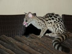 """FASCINATING!  Genets: The Honorary Cats -  """"The common genet, also called a genet cat or European genet, are nocturnal mammals that originate in northern Africa and Europe. Although these feliforms aren't that closely related to common domestic cats, they do share a lot of similar traits and features."""""""