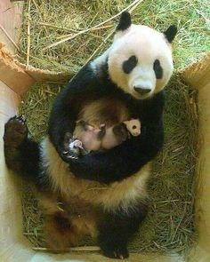 VERY proud mummy panda enjoys a cuddle with her babies - - The heart-warming pictures of the panda mother and her cubs from Schönbrunn Zoo in Vienna has ended a month of speculation as it was confirmed for the first time they were a boy and a girl. Panda Bebe, Cute Panda, Panda Panda, Cute Baby Animals, Animals And Pets, Funny Animals, Wild Animals, Schönbrunn Zoo, Photo Panda