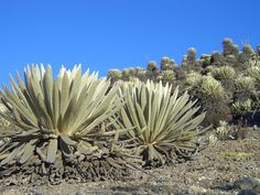 paramo flower - Google Search Monte Roraima, Dont Be Scared, Cacti And Succulents, Dream Garden, Tours, Funny, Google, Plants, Travel
