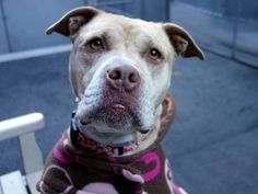 """Update: Safe! Please re-pin Queen who only has until noon today 12/23. She's a calm, sweet 3 year old and she's on the to be destroyed list at NYC ACC and needs rescue before noon 12/23. Click on Help Desk to contact rescues, they can transport to neighboring states. Volunteer writes: """"...always welcoming in her kennel, tail wagging and body wiggling. She looks quite serious but she is such  a happy gal when she is in company. She stands on her hinds, puts her paws on my chest and kisses."""""""