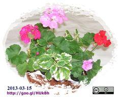 virágaim-2013-03-15-07-picik-500f