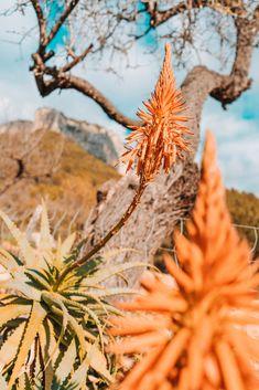 Winter-Wanderung zum Castell d'Alaró Dandelion, Flowers, Plants, Small Bars, In Love, Island, Majorca, Floral, Plant