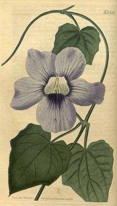 9440 Thunbergia alata Bojer ex Sims [as Thunbergia grandiflora Roxb.]  / Curtis's Botanical Magazine, vol. 50: t. 2366 (1823) [J. Curtis]