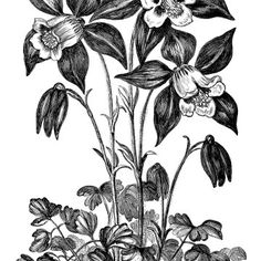 Aquilegia Glandulosa, granny's bonnet flower, black and white graphics, vintage flower illustration, printable floral image