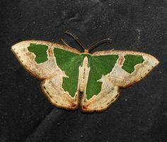 Oospila venezuelata  I know it's a moth, but still beautiful