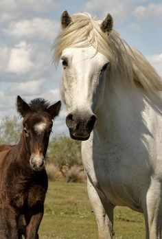 ☀Camargue foals are born black or brown, with only a white star. ~ White horses of Camargue, France  by debbie_dicarlo*