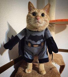 明日3/25公開 バットマンVSスーパーマン 待ちに待ったよ  好きすぎたらうちにも来た キャットマン(>_<) 勝てよ 私らはバットマン派 むしろジョーカー派  動画はまたUPします  #batman#VS#superman#justice#バットマン#スーパーマン#cinema#ChristopherNolan#ChristianBale#BenAffleck#darkhero#hero#darknight#heathledger#joker#cat#ねこ#ニャンコ#キャットマン#handmade#43#43服#dog#simi#fashion#ordermade#nagano#壁の影がバットマン by showgo43
