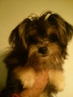 Check out Darth Vader's profile on AllPaws.com and help him get adopted! Darth Vader is an adorable Dog that needs a new home. https://www.allpaws.com/adopt-a-dog/yorkshire-terrier-yorkie-mix-maltese/3938336?social_ref=pinterest