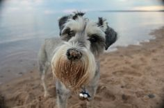 """""""Having lived in Yellowknife his entire life, my Miniature Schnauzer Chaucer always enjoys travelling to Nova Scotia to visit his family,"""" wrote Dorothy Westerman in her submission. """"A daily walk on Melmerby Beach is a must for this elite four-legged athlete and nothing compares to the sand and ocean!"""""""