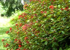 Florida Native Plant Society Blog: Add Native Plants to Your Landscape (pic of Firebush)