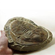 Genus - Cambropallas Trilobite (possibly Cambropallas Telesto sp.) Location - Jbel Wawrmast Formation, Anti-Atlas Mountain Region, Northern Sahara Desert, Morocco, North Africa Geological Age - Palaeozoic Era, Lower Cambrian Period 550 million years ago