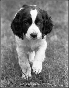 You don't know love until you've been loved by an English Springer Spaniel