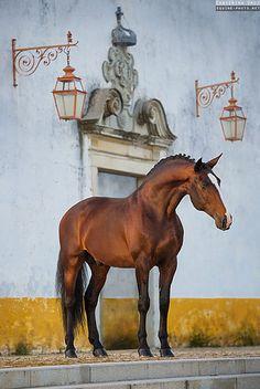 Lusitano stallion photographed by Ekaterina Druz