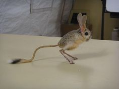 The Pygmy Jerboa - One of the cutest animals I've ever seen!