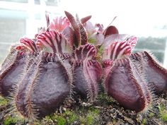 Cephalotus follicularis Cephalotus is a genus which contains one species, Cephalotus follicularis the Australian pitcher plant, a small carnivorous pitcher plant