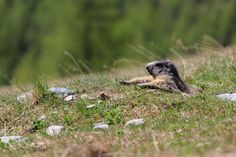 The marmots take it easy, don't they? Spotted at the Staffelwald in Saas-Fee.