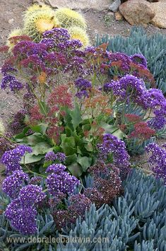 Statice, or sea lavender (limonium) grows great along the coast, where it will naturalize. Here it's shown with blue senecio and barrel cacti.