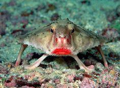 Red-lipped Batfish [605446]