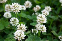 Clover Lawns Stay green, require little or no mowing, never need fertilizer or herbicides, out-compete other weeds, enrich poor soil, feel great on feet, is inexpensive and great for honey bees if flowers are allowed to bloom.