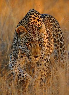 Beautiful Leopard !