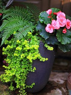 The Graceful Gardener's Containers. Ingredients: Tassel Fern, Tuberous Begonia 'Solenia Dusty Rose', Creeping Jenny. Light Requirement: Partial Shade. The Graceful Gardener.: