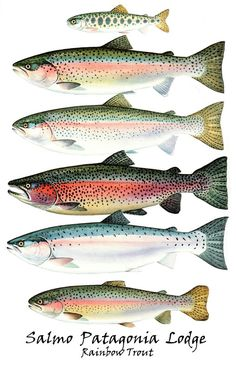 beautiful things that are salmon hues | RAINBOW TROUT (9' rod-#6-7 line-Floating or sink tip)
