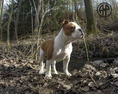 AP Rush- a Daughter of AP Banzai X Pickwick Gitte.  Continental Bulldog Female   www.asgards-pride.com