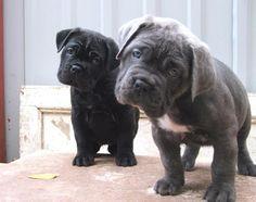Cane Corso #puppies #love