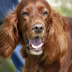 Irish Setters.. I have  2.. a mother-daughter pair.. love em.. :*