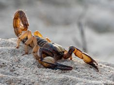 📸🦂 Cape Burrower Scorpion from Melkbosstrand, South Africa Wildlife Photography, South Africa, Cape, African, Photos, Animals, Scorpion, Mantle, Cabo