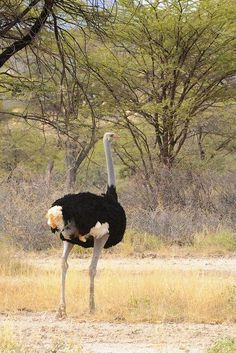 Ostrich (Struthio camelus) male.