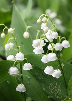 Photo of Lily of the Valley by Yvette-Michelle Cottle Darby My birth flower <3