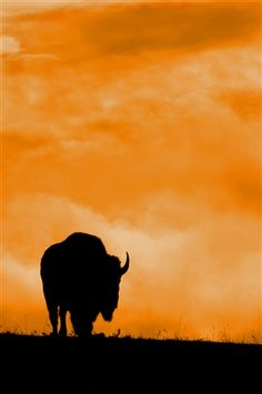 A bison makes a beautiful silhouette against a brilliant orange South Dakota sunset in Custer State Park.