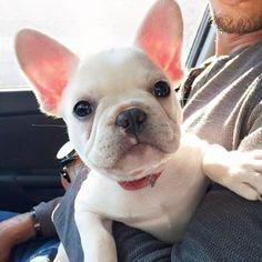 French Bulldog Puppy❤❤