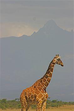 Giraffe  - Mt. Kenya Photo Credit:  Randy Toltz, AdjustYourLatitude.com