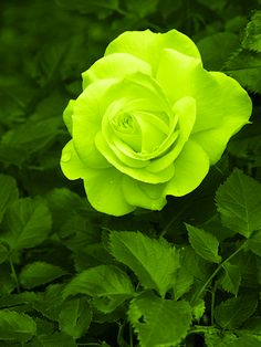 **lime green rose