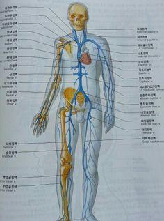 주요 정맥