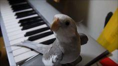 オカメインコ ぽこちゃん となりのトトロ cockatiel singing the theme from Totoro- very cute!