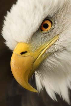 Bald Eagle - Predator - titled 'Eye Spy Lunch II'
