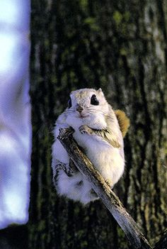 New favorite fluffy! Japanese Dwarf Flying Squirrel. Covers everything. DONE.