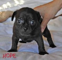 Hope is an adoptable Chihuahua Dog in Torrance, CA. On December 11, 2012, our five little chug puppies were born in a cold, crowded LA shelter.  Their mom, Fawn, entered the shelter just 3 days earlie...