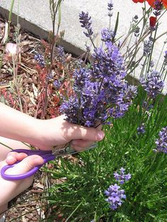 Pruning Lavender  ............  Exactly what I was looking for  .... my lavender is so huge and I did not know how to to this!!