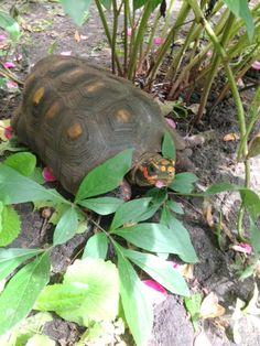 Reptiles, Mammals, Peony Plant, Reptile Habitat, Tortoises, Turtles, Habitats, Peonies, Creatures
