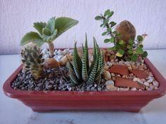 Meu Jardim é Assim...: Mini-jardins de cactos e suculentas, crescendo...
