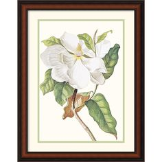 Georg Dionysius Ehret 'Magnolia Maxime Flore' Framed Art Print