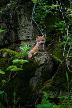 Life's little treasures | lsleofskye: Little Fox