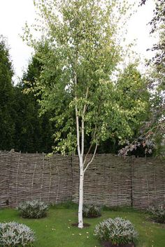Birch trees garden - 'Golden Fountain' Birch Tree Pot Betula pendula 'Golden Fountain' By Frank P Matthews™ – Birch trees garden Small Trees For Garden, Tree Garden, Garden Plants, Betula Pendula, White Birch Trees, Landscaping Trees, Tree Leaves, Types Of Soil, Gardens