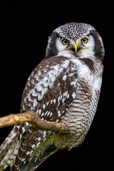 Perched hawk owl by Tambako the Jaguar
